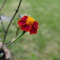 Can I Plant Zinnias in Pots?