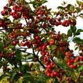 When to Harvest Crab Apples