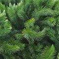 Characteristics of Pine Trees