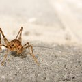 How to Get Rid of a Camel Cricket