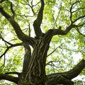 How to Identify Walnut Trees