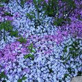 When to Transplant Creeping Phlox