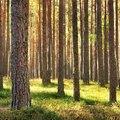 Uses of Pine Wood | Hunker