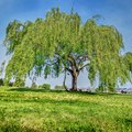 How to Care for a Weeping Willow Tree