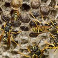 Why Do Wasps Go Dormant After the Nest Is Destroyed?