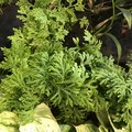 How to Care for Frosty Fern Plants