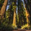 Facts About the Redwood Tree