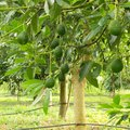 In What Areas of the United States Can You Grow an Avocado Tree?
