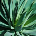 How to Propagate Agave Attenuata