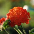 How to Deadhead Lantana
