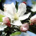 When Do Apple Trees Bloom?