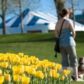Are Tulips Poisonous to Dogs?