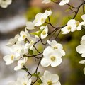 How to Prune a Pagoda Dogwood Tree