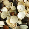 How to Sterilize Sea Shells
