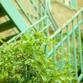 How to Propagate Sweet Autumn Clematis