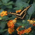 The Best Lantana Plant for Zone 5