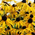 Is Black-Eyed Susan Toxic?
