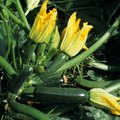 How to Distinguish Between Male & Female Zucchini Flowers
