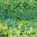 Companion Planting List