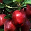 Information About Apple Leaves on Trees