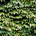 How to Remove Ivy Tendrils From Stucco
