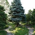 Can I Grow a Blue Spruce Tree in Florida?