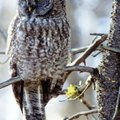 How to Keep a Great Horned Owl Away