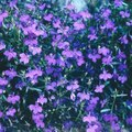 Is the Lobelia Plant an Annual or a Perennial?