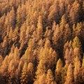 How to Grow Aspen Trees in California
