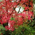 How to Care for a Dying Japanese Maple Tree