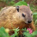 What Smells Do Woodchucks Hate?
