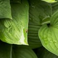 How to Get Rid of Ants Eating Hostas