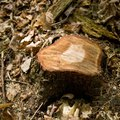 How to Burn Out Tree Stumps With Copper Sulfate