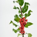 How to Get Rid of Bees in a Holly Bush
