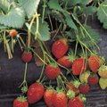 How to Keep Strawberries Off the Ground