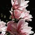 Magnolia Flower Colors