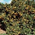 Overwatering Citrus Trees