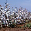 How to Process Cotton, From Plant to Cloth