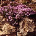 How Long Do Garden Phlox Bloom?