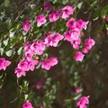 Is Bougainvillea Deer Resistant?