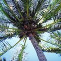 How Fast Does a Coconut Palm Tree Grow?