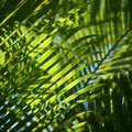 How to Breed Palm Trees With Offshoots