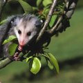How to Rid Possums Out of Your Trash Can