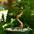 Are Bonsai Trees Poisonous to Dogs?