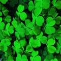 How Long Does Clover Take to Sprout?