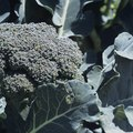How to Save Leggy Broccoli Seedlings
