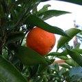 How to Plant a Mandarin Orange Seed