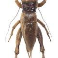 How to Kill Crickets With Borax