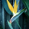 How to Trim a Giant Bird of Paradise