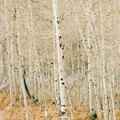 How to Kill Borers in Aspen Trees